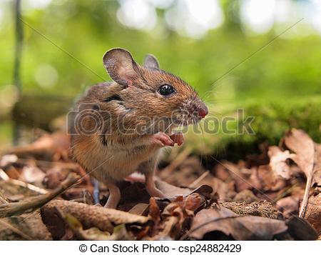 Stock Photo of Field Mouse (Apodemus sylvaticus) praying.