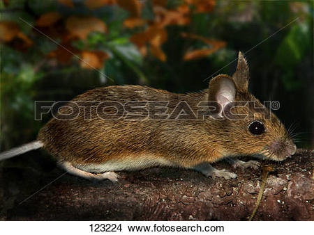Stock Photo of wood mouse / apodemus sylvaticus 123224.