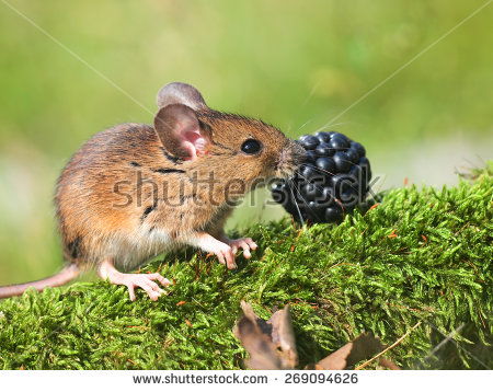 Field Mouse Stock Photos, Royalty.