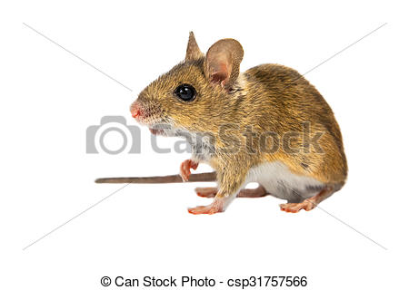 Stock Image of Field Mouse on white.