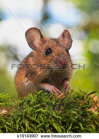 Picture of Field Mouse (Apodemus sylvaticus) in a forest k19143907.
