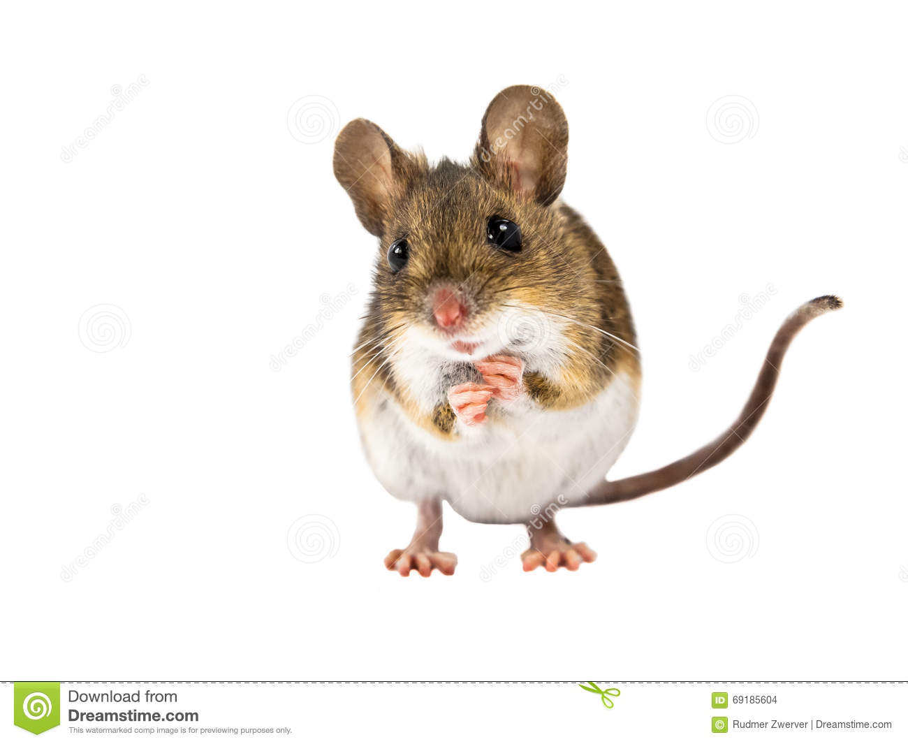 Field Mouse (Apodemus Sylvaticus) With Clipping Path Stock Photo.