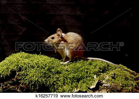 Stock Photograph of Wood mouse, Apodemus sylvaticus k16257719.