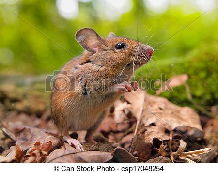 Stock Images of Field Mouse (Apodemus sylvaticus) sniffing.