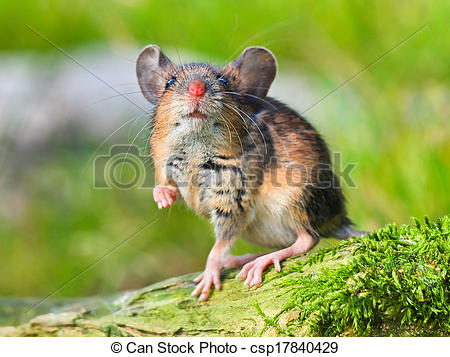 Stock Photo of Field Mouse (Apodemus sylvaticus) on the Forest.