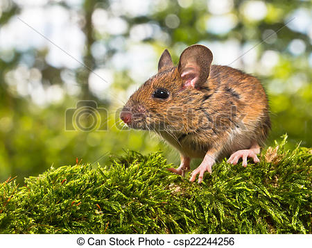 Stock Images of Side View of the Head of a Field Mouse (Apodemus.