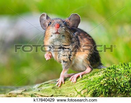 Stock Photograph of Field Mouse (Apodemus sylvaticus) k17840429.