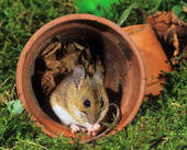 Stock Photo of Wood Mouse at dogrose / Apodemus sylvaticus 41893.