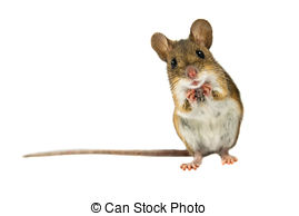 Stock Photo of Field Mouse (Apodemus sylvaticus).