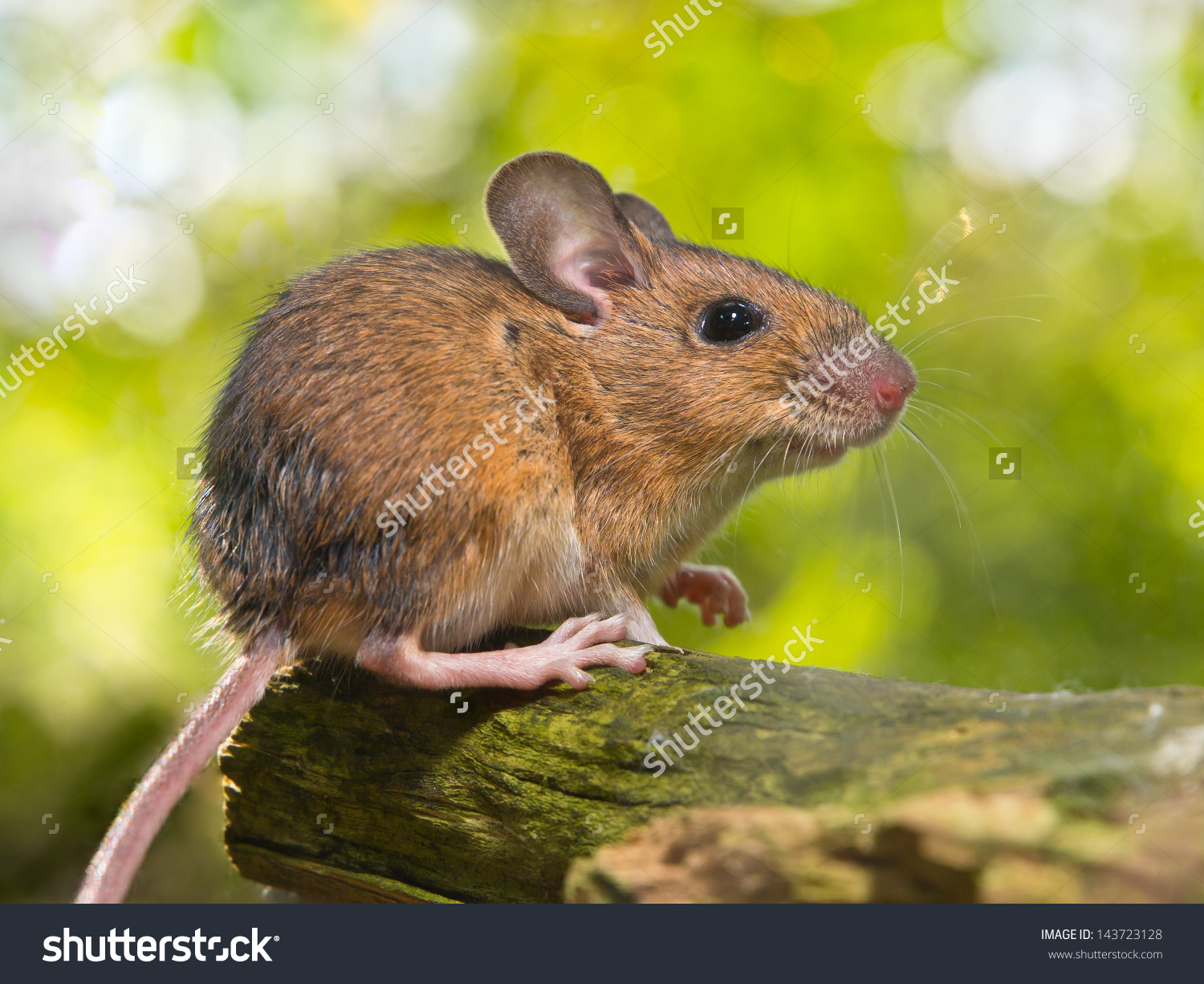 Field Mouse Apodemus Sylvaticus On Forest Stock Photo 143723128.