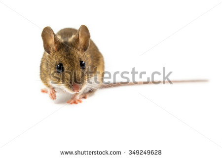 Apodemus Sylvaticus Stock Photos, Royalty.