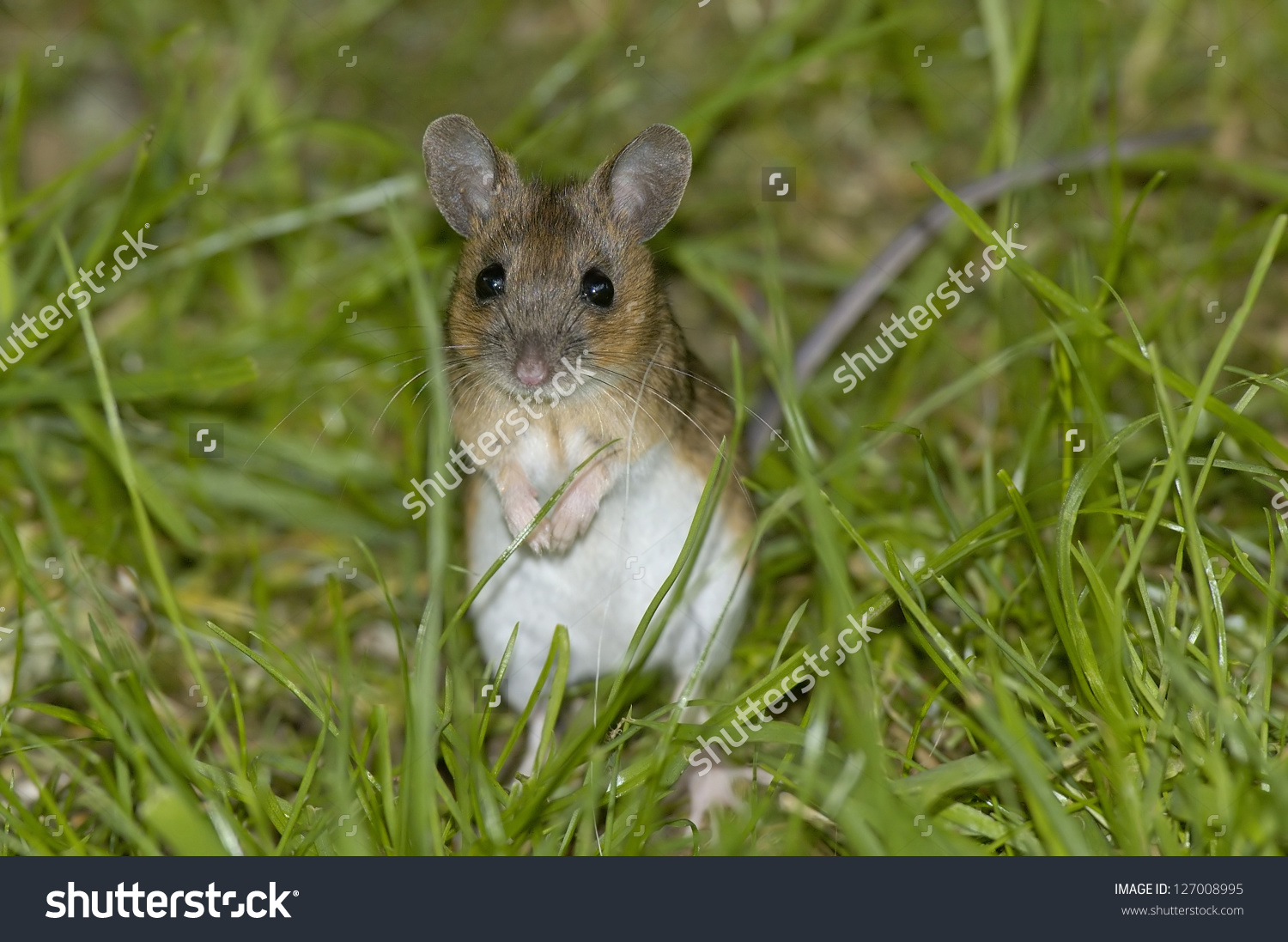 Wood Mouse Long Tailed Field Mouse Stock Photo 127008995.