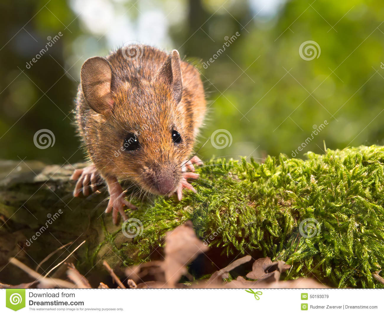 Field Mouse (Apodemus Sylvaticus) Looking In The Camera Stock.