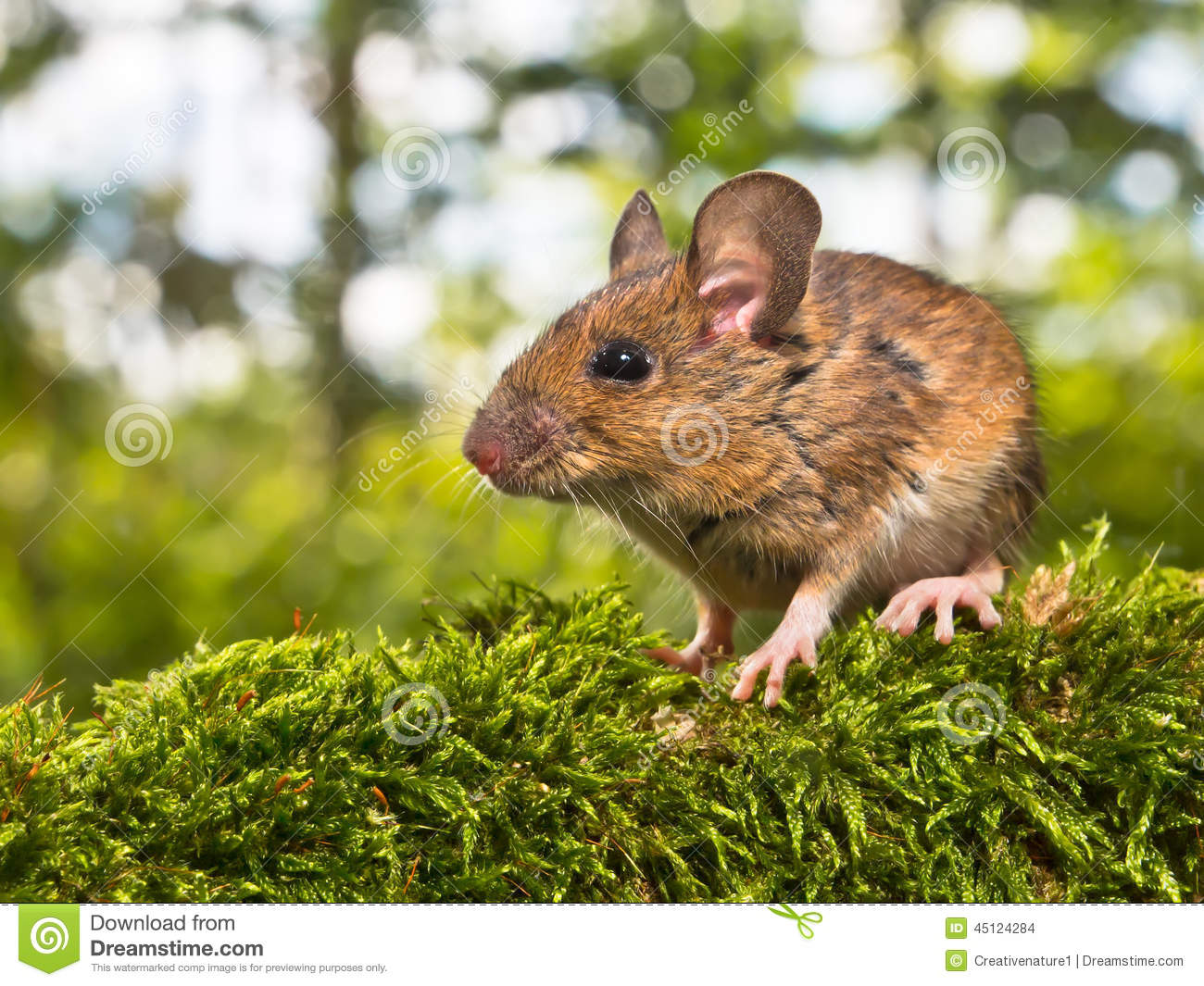 Field Mouse (Apodemus Sylvaticus) In A Forest Stock Photo.