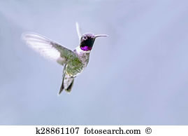 Apodiformes Stock Photos and Images. 127 apodiformes pictures and.