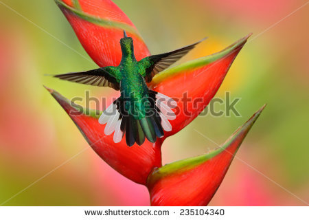 Apodiformes Stock Photos, Images, & Pictures.