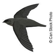 Apodiformes Stock Illustration Images. 5 Apodiformes illustrations.