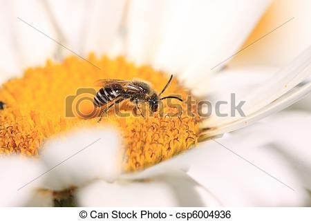 Stock Image of Bee, Apoidea, Abeille csp6004936.
