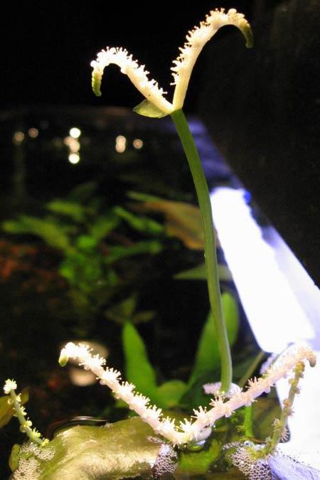 Wavy Swordplant (Aponogeton crispus).