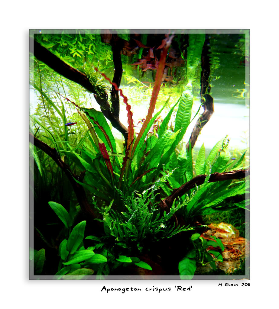 Aponogeton crispus 'Red'.