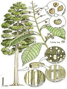 Sabiaceae.