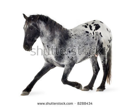 Appaloosa Horse Front White Background Stock Photo 8288422.