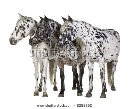 Appaloosa Horse Stock Images, Royalty.