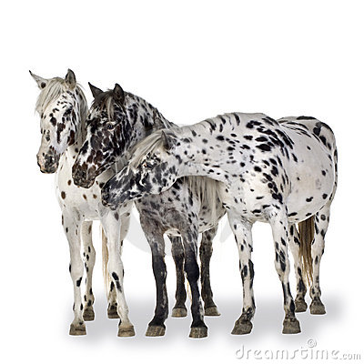 Appaloosa Horse Stock Photos.