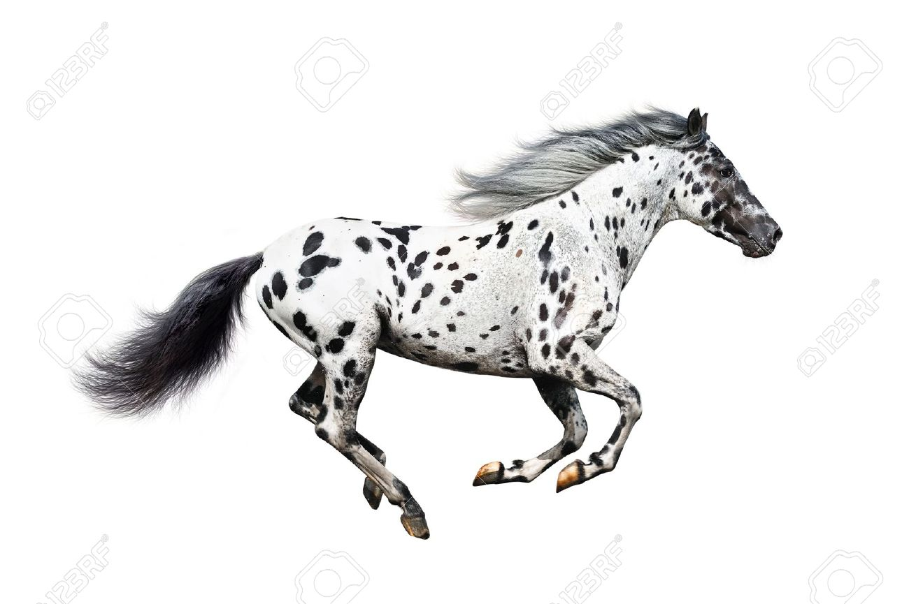 Appaloosa Stock Photos & Pictures. Royalty Free Appaloosa Images.