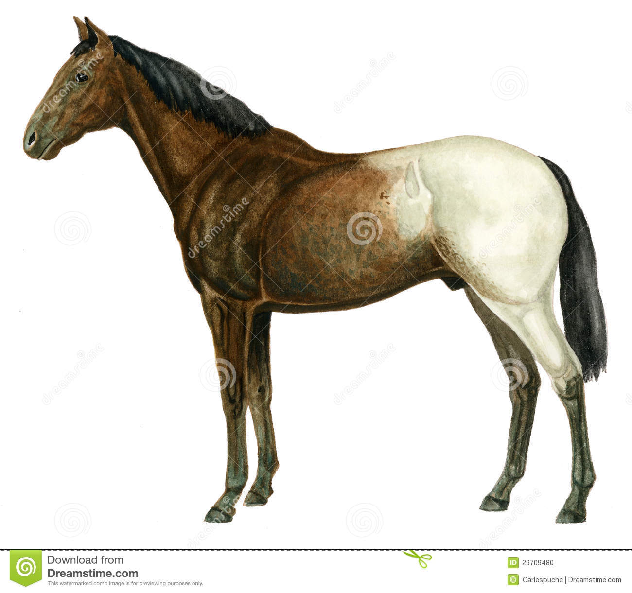 Appaloosa Stock Illustrations.