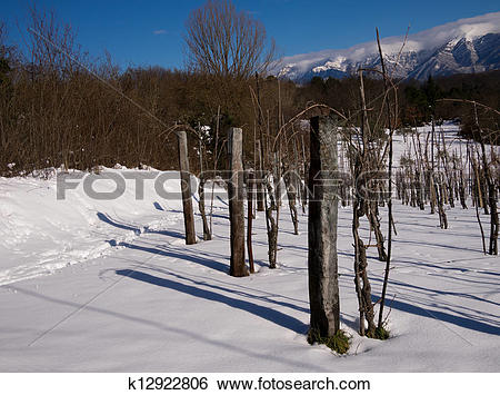 Stock Images of Snow in Italian vineyard with winter sunshine and.