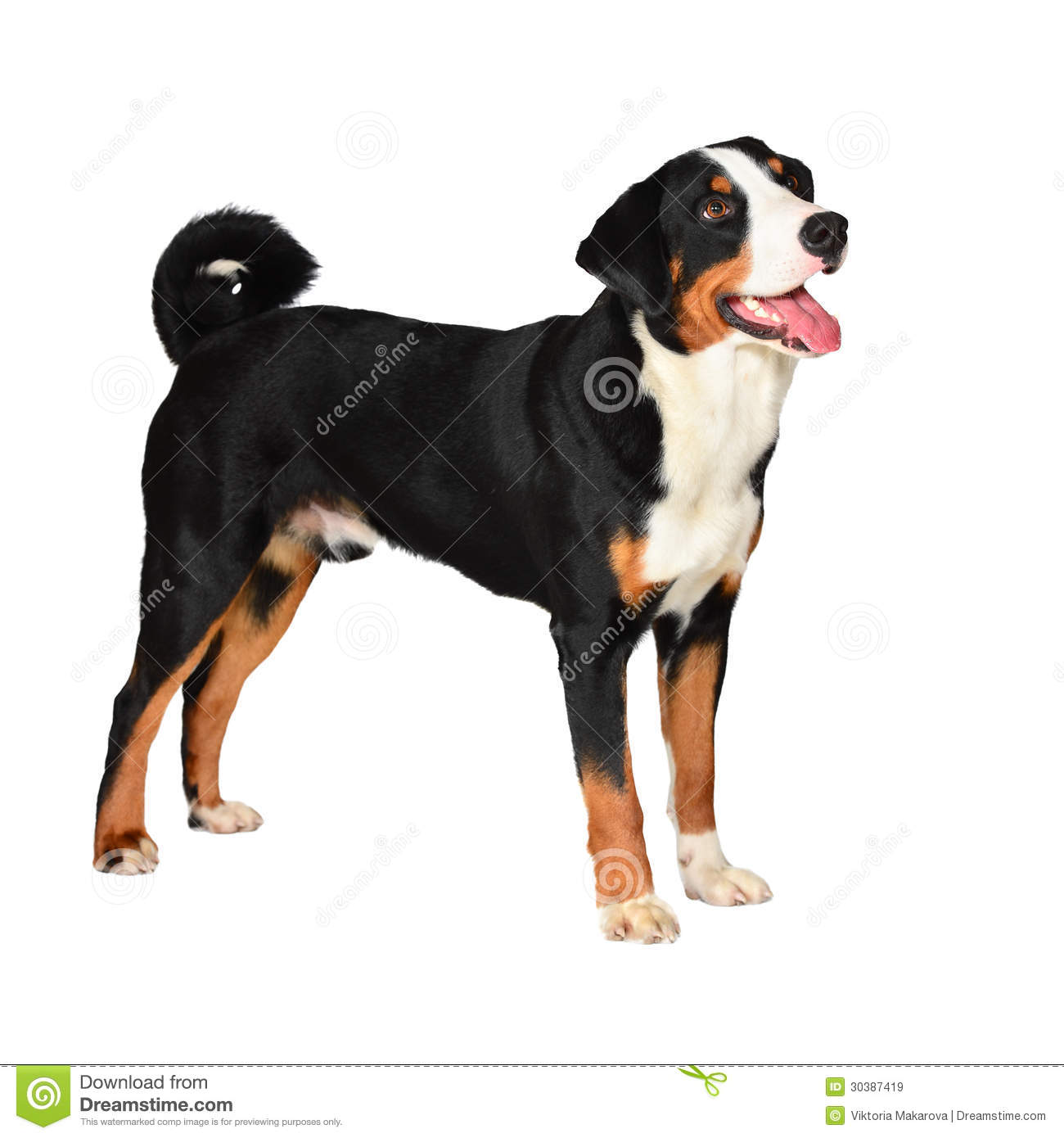 Sennenhund Appenzeller Tricolor Dog With Rose In The Mouth Stock.