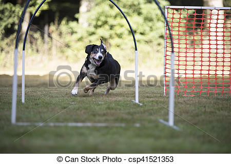 Stock Images of Dog, Appenzeller Mountain Dog, trainin hoopers.