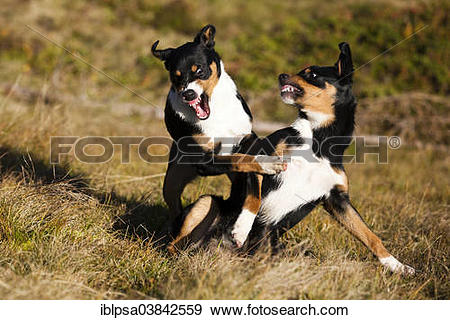 """Stock Photograph of """"Appenzeller Sennenhund, young dogs playing."""