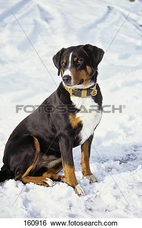 Stock Images of Appenzeller Sennenhund dog.
