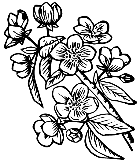 Apple Blossom Clipart.