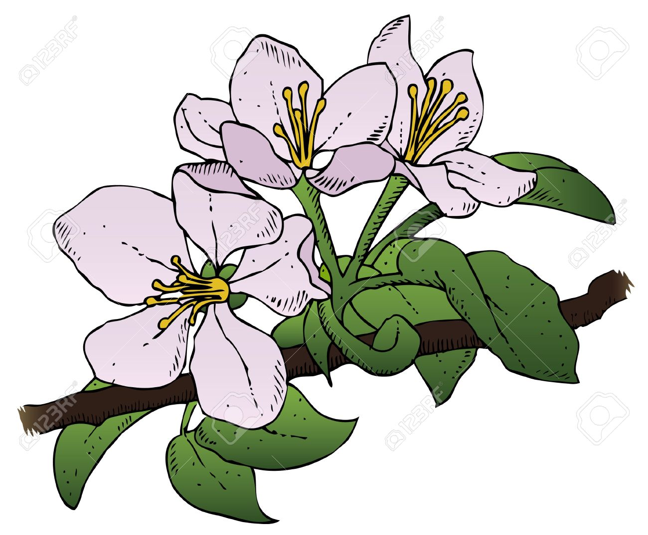 A Realistic Drawing Of A Group Of Apple Blossoms On A Branch.