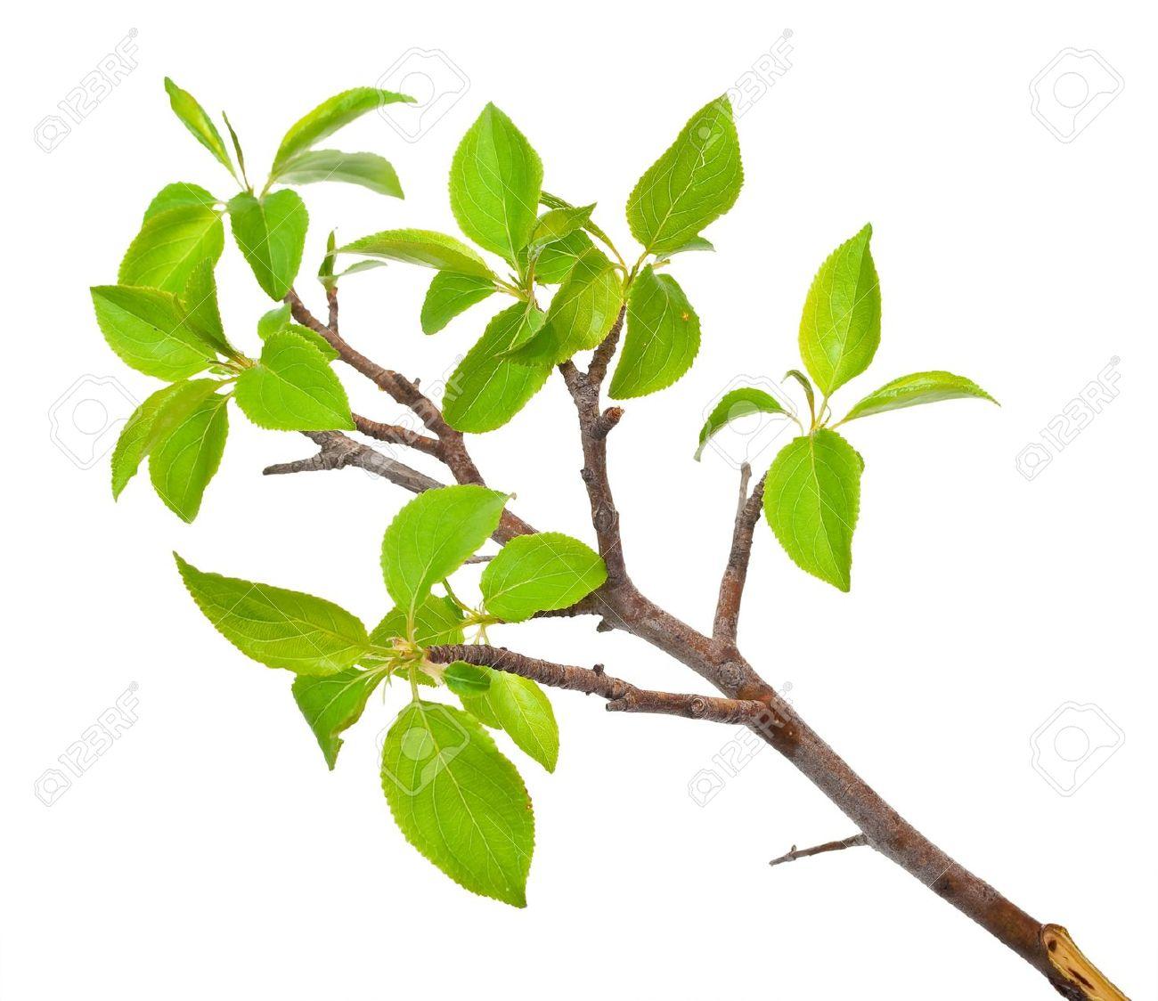 Tree bud clipart.