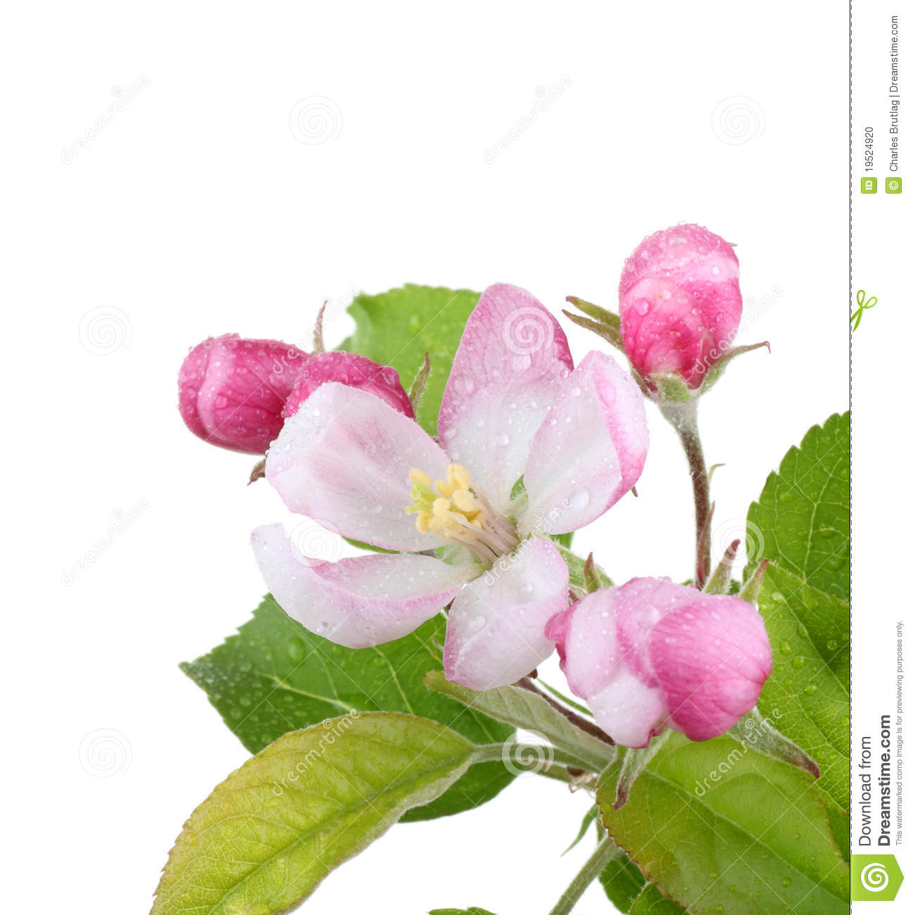 Apple Blossom Stock Photo.