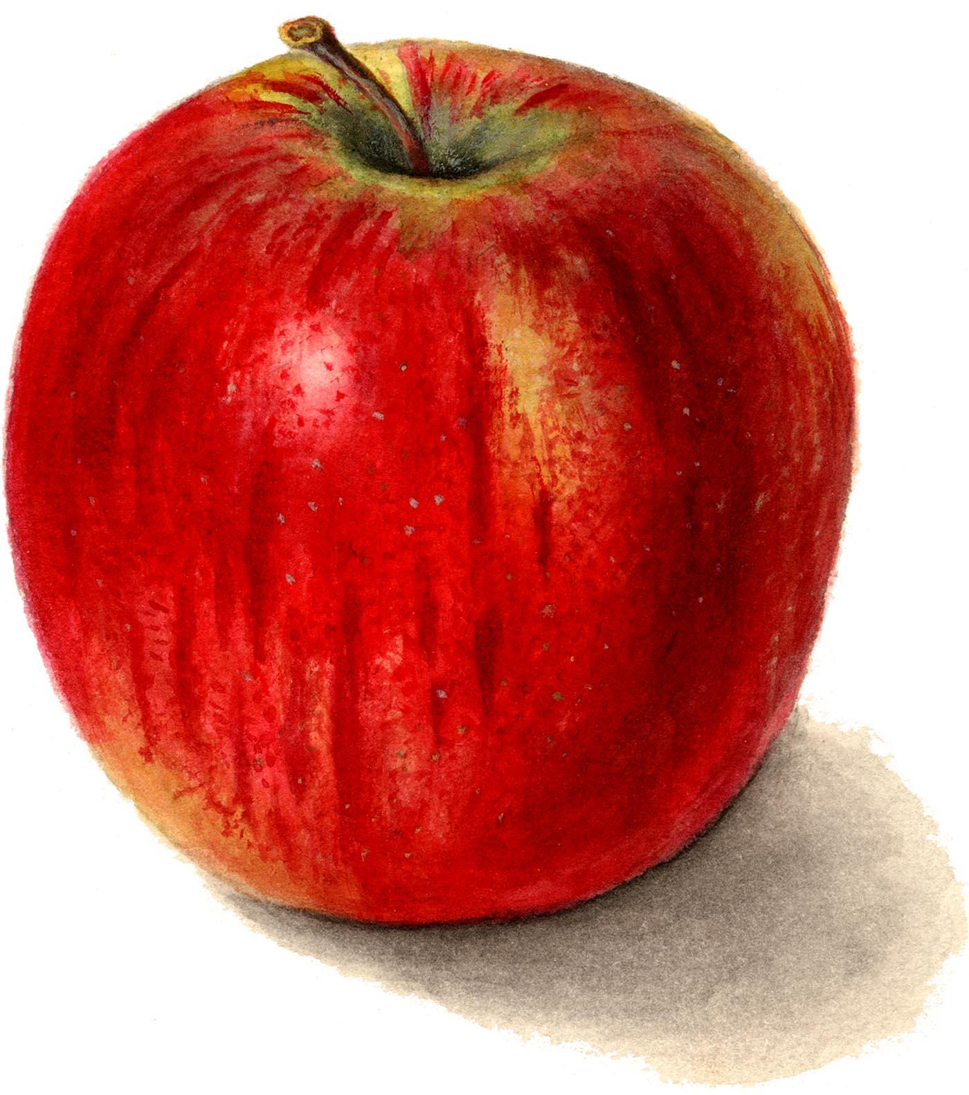 7 Apple Images Clip Art!.