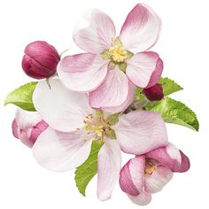 Apple blossom leaves clipart.