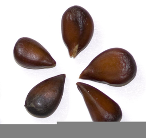 Apple Seeds Clipart.