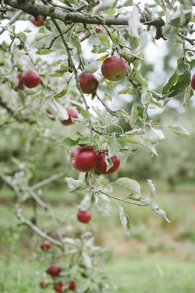 1000+ ideas about Apple Tree on Pinterest.