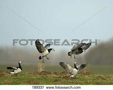Picture of Barnacle Goose (Branta leucopsis). Four adults in.