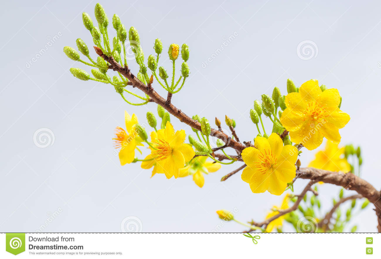 Yellow Apricot Blossom Closeup Stock Photo.