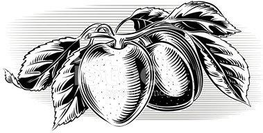 Apricots stock vectors.