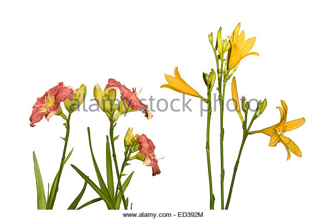Daylily With Buds Stock Photos & Daylily With Buds Stock Images.