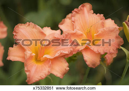 Stock Photography of two similar peach orange daylily flower.