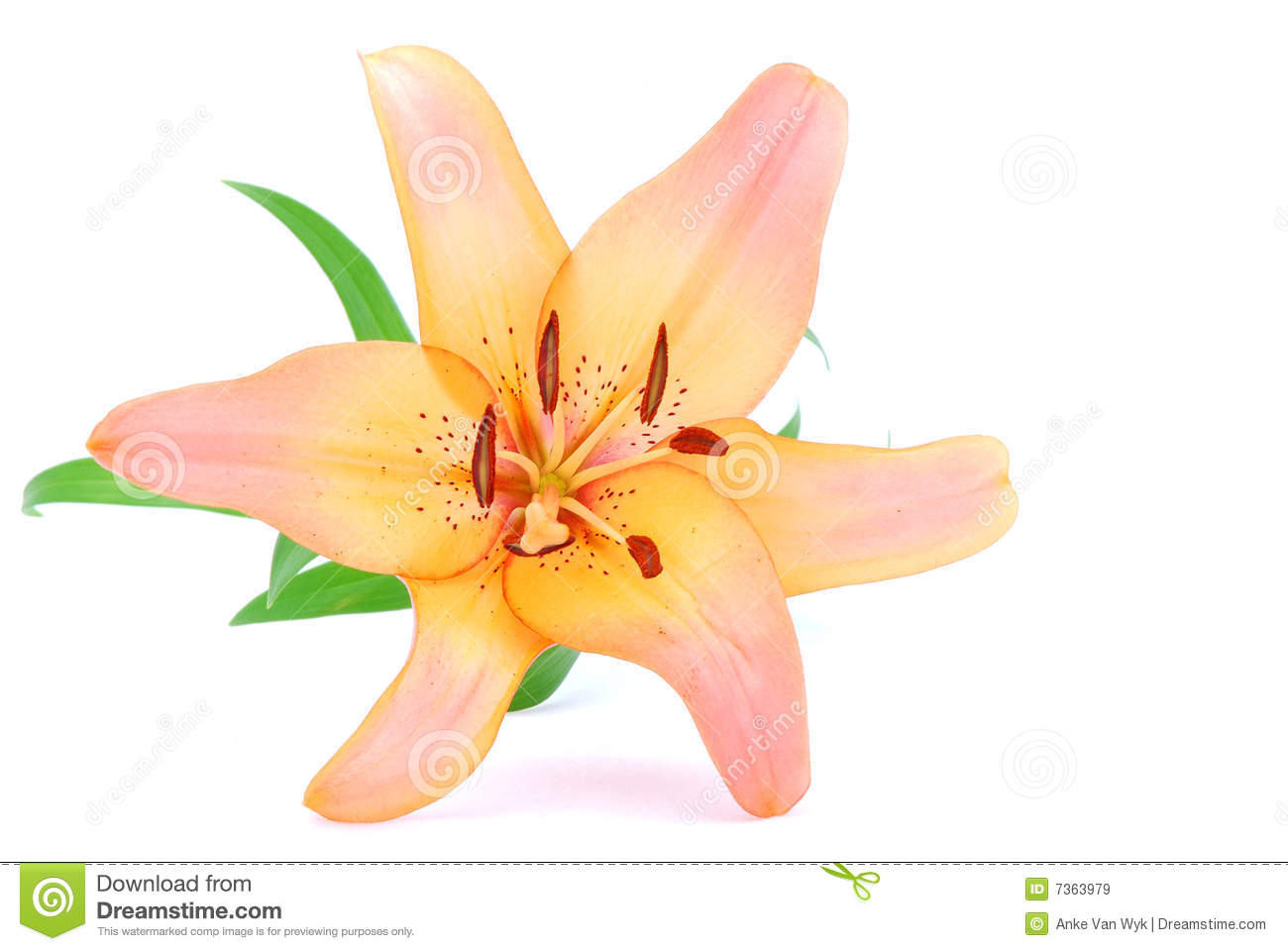 Apricot Lily Flower Stock Photos, Images, & Pictures.