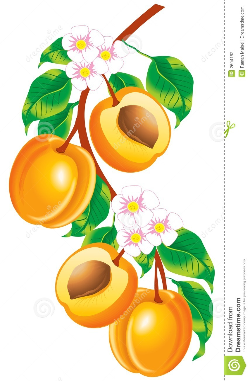 Clipart of apricot tree.